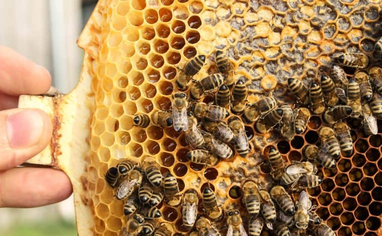 Beekeeping as a Hobby - Truefoodsblog
