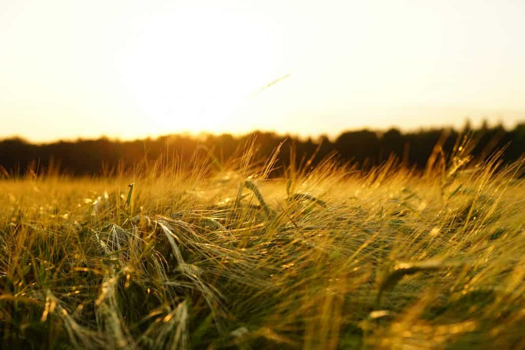 Barley pixabay
